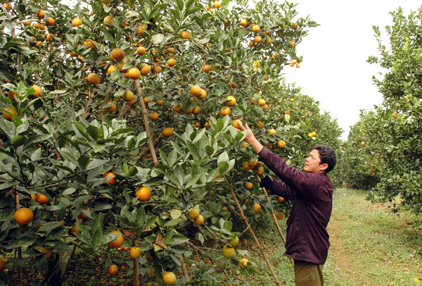 10_best-known_orchards_in_Vietnam_03