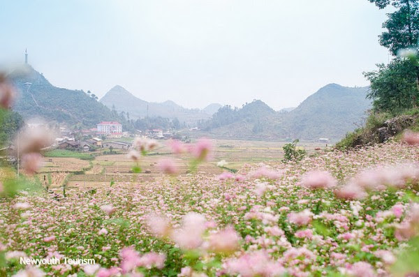First_buckwheat_flower_festival_to_be_held_in_Ha_Giang_01