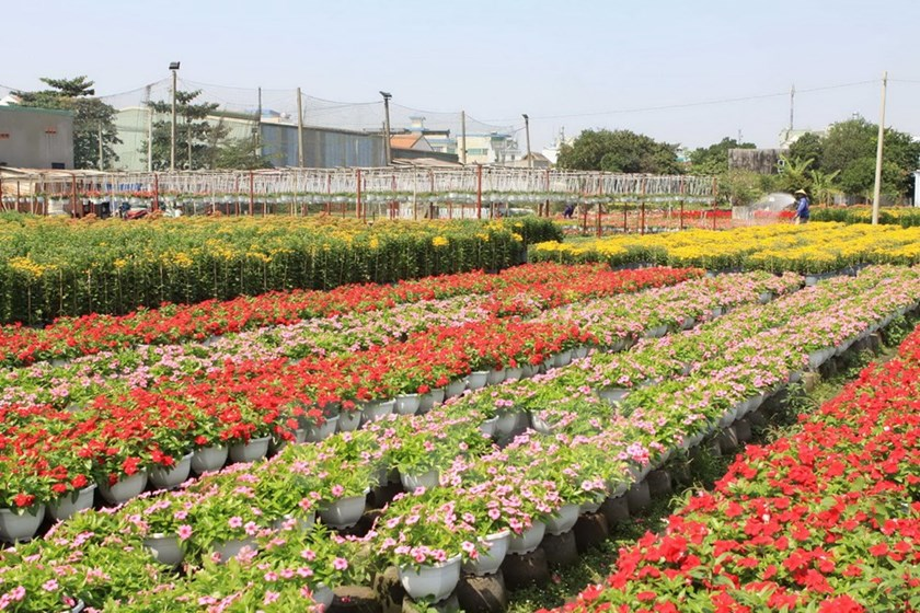 Flower_village_in_Ho_Chi_Minh_City_primed_for_Tet_holiday_season_03