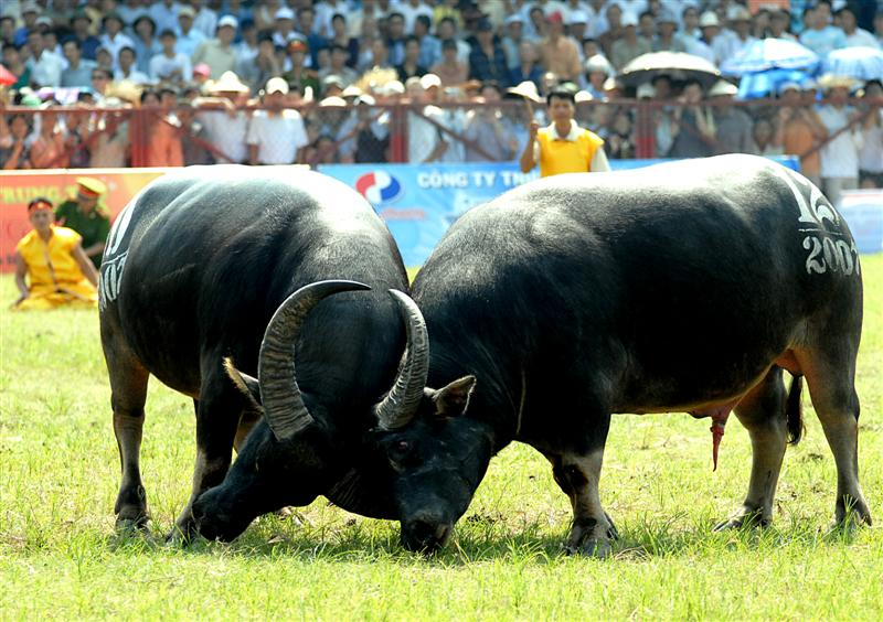 Thousands of people walked through pouring rain to a stadium in the northern beach town of Đồ Sơn, Hải Phòng Province,Vietnam to attend the annual buffalo-fighting festival that dates back to the 18th century. 3