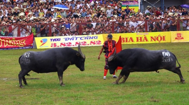 Thousands of people walked through pouring rain to a stadium in the northern beach town of Đồ Sơn, Hải Phòng Province,Vietnam to attend the annual buffalo-fighting festival that dates back to the 18th century.
