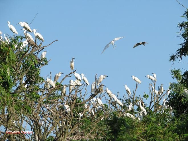 The_kingdom_of_storks_in_Hai_Duong_11