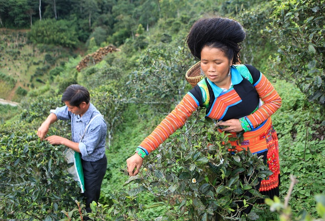 Vietnams_unique_ancient_Shan_Tuyet_tea_forest_1