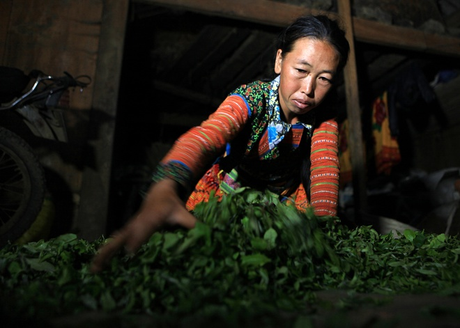 Vietnams_unique_ancient_Shan_Tuyet_tea_forest_15