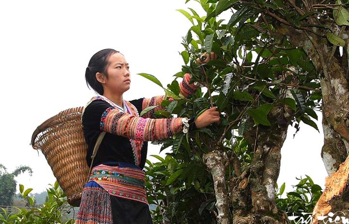 Vietnams_unique_ancient_Shan_Tuyet_tea_forest_3
