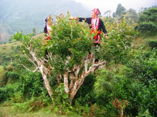 Vietnams_unique_ancient_Shan_Tuyet_tea_forest_5