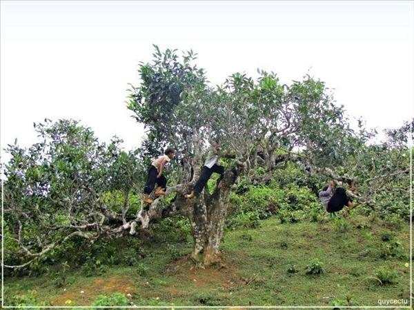 Vietnams_unique_ancient_Shan_Tuyet_tea_forest_8