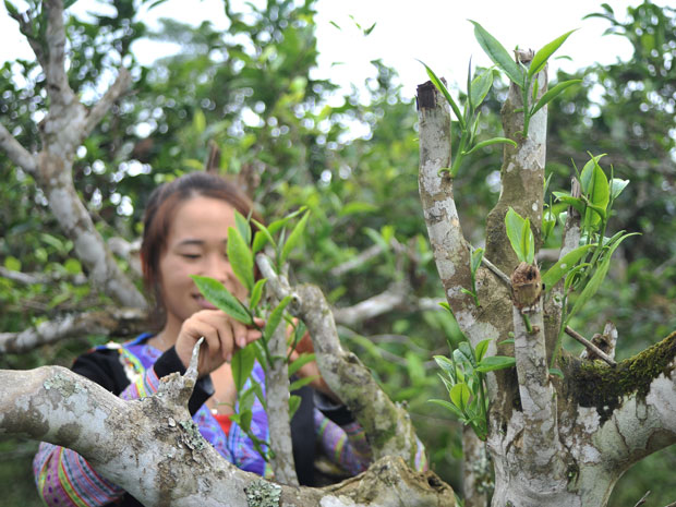 Vietnams_unique_ancient_Shan_Tuyet_tea_forest_9