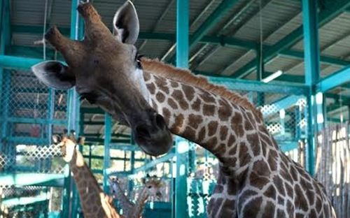 vietnam-first-ever-safari-zoo-set-for-xmas-opening-on-phu-quoc-island_04